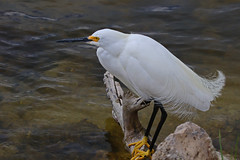 """Aigrettes"" (Jan Nagalski) Tags: white whitebird egret snowyegret aigrettes plumes feathers yellow black wildlife nature dingdarling nwr sanibel sanibelisland gulfofmexico southwestflorida florida jannagalski jannagal nationalwildliferefuge"