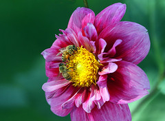 Busy as a Bee (Team Hymas) Tags: dahlia flower home bees vancouverwashington