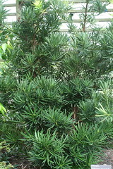 Podocarpus Macrophyllus - Golden Crown golden-tip Japenese yew-pine (Christopher Alberti) Tags: plant tree golden crown japenese podocarpus jcraulstonarboretum macrophyllus goldentip yewpine
