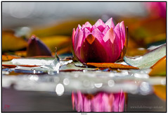 Seerose (tuxoche) Tags: flickr jahr flowerpower genre facebook seerose geolocation 2015 macrophotos veröffentlicht camera:make=canon exif:make=canon macroaddict camera:model=canoneos5dmarkii exif:model=canoneos5dmarkii exif:lens=ef100400mmf4556lisusm exif:aperture=ƒ71 2published hqsppromotion google2048 exif:isospeed=100 exif:focallength=400mm pushflickrcommunity hqspflower googlereshares btpflowerpro shared2015 hqspgold gphotocollections 0flickrpublished 092015s 1pinterestpublished fbmakro2015