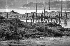 Abandoned (BobBetts) Tags: ocean seaweed gull lowtide weir blankandwhite infocus highquality