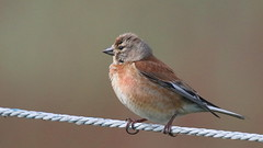 Linotte mlodieuse, Am, n (R, 2014-05-11_06) (th_franc) Tags: oiseau linottemlodieuse
