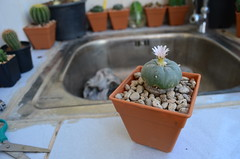 Lophophora williamsii (Dr. C (Looking for a Publisher)) Tags: peyote lophophora williamsii