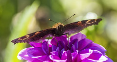 Schmetterling (ulrike.heck) Tags: pink summer sun sommer blume makro sonne nahaufnahme fhler ulrikeheck