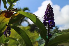 blue ginger... () Tags: plants garden hawaii blueginger