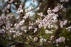 beautiful blossoms (Sam Scholes) Tags: flowers flower nature garden utah us spring unitedstates blossom blossoms saltlakecity springflowers floweringtree redbuttegarden