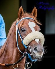 Ziconic (EASY GOER) Tags: horses horse ny newyork sports race canon track running racing 5d athletes races thoroughbred equine belmontpark markiii