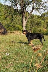 Frakk (debreczeniemoke) Tags: autumn dog tree grass landscape meadow land kutya fa táj tájkép ősz frakk fű rét transylvanianhound erdélyikopó transylvanianbloodhound olympusem5
