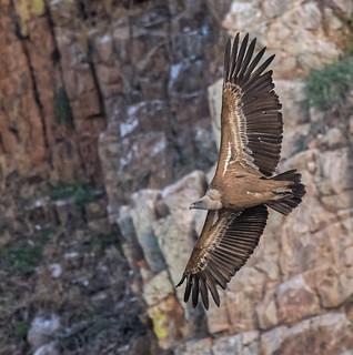 Griffon Vulture..