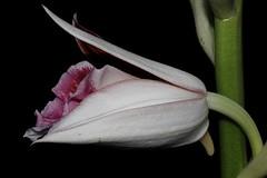Phaius australis (andreas lambrianides) Tags: orchidaceae nsw qld endangered terrestrial swamporchid phaius australianflora phaiusaustralis australiannativeplants terrestrialorchid arfp australianrainforests australianrainforestplants southernswamporchid qrfp arfflowers maroonarfflowers littoralarf swamparf wetsclerophyllaf lesserswamporchid australianrainforestorchids phaiuscarronii phaiusleucophaeus phaiusgrandifoliusvarrowanae phaiusgrandifoliusvarbernaysiisoutterii