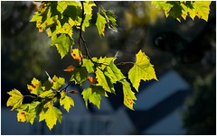 There Is Something About Afternoon Autumn Light (sorrellbruce) Tags: autumn fall leaves colorful afternoon fuji memories sharp melancholy afternoonlight crystalline autumnlight lr6 photoninja brilliantlight framefun fujinon55200mm fujixt1