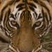Tiger - Panthera tigris - T8 Ladli - 04