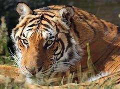bengaalse tijger Hoenderdaell JN6A1505 (j.a.kok) Tags: tiger tijger bengaltiger pantheratigristigris bengaalsetijger hoenderdaell