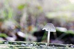 IMG_3057-Modifier (mycenium) Tags: wood mushroom canon belgium region foret brabant champignon bois 6d wallon wallonie wallone belgiquie