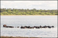 Water Buffalo (John R Chandler) Tags: srilanka waterbuffalo bubalusbubalis bundalanationalpark