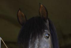 Jocoso (Plug del Sur) Tags: horses horse argentina canon caballo amigo friend glances miradas areco purasangre canon60d