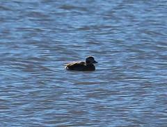 Long-tailed Duck (tombenson76) Tags: whitewaterriver longtailedduck clangulahyemalis