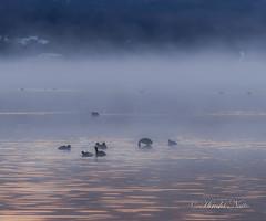 Black coot (yamanaito) Tags: lake black birds flickr ngc  coot