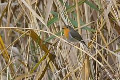_DSC5048 Roodborst : Rouge-gorge familier : Erithacus rubecula : Rotkehlchen : European Robin