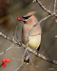 """Cedar Waxwing"" ""Bombycilla cedrorum"" (jackhawk9) Tags: nature birds canon newjersey wildlife ngc waxwing cedarwaxwing southjersey bombycillacedrorum edwinbforsythenationalwildliferefuge jackhawk9"