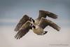 Formation (Kevin James54) Tags: canadagoose lakegalena nikond500 peacevalleypark pennsylvania tamron150600mm animals avian bird brantacanadensis buckscounty geese kevingianniniphotocom