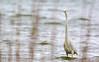 Great egret (Ardea alba) (Andrea Bovolo) Tags: airone bianco maggiore grote zilverreiger great egret ardea alba birdwatching vogel nikon d7100 sigma 150600 sport outdoor bird animal serene