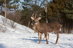 White-tailed deer buck and fawn in the winter snow (Jim Cumming) Tags: animal antlers background big buck canada closeup cold curious deer ears fawn forest game hikey hunting isolated large male mammal meadow nature outdoors park portrait rack season snow stag tail tailed trophy white whitetailed whitetailedbuck whitetaileddeer whitetailedfawn whitetail wild wildlife winter