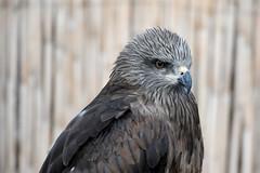 King of Sharpness (haddbill) Tags: bird animal eye king sharpness eagle algeria