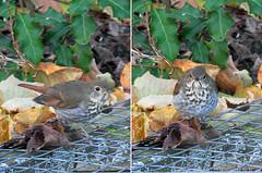 2016-12-08 unidentified  backyard bird. (-jon) Tags: anacortes skagitcounty fidalgoisland sanjuanislands washingtonstate salishsea pugetsound bird backyard a266122photographyproduction
