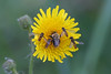 Amazing Nectar (Roy Lowry) Tags: marshsowthistle bumblebee carderbee bombuspascuorum commoncarderbee episyrphusbalteatus hoverfly