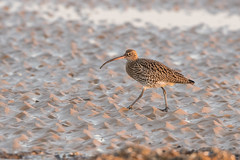 Curlew (Gareth Keevil) Tags: beach bird cold curlew dusk garethkeevil lowtide nikon500mm nikond500 rspb rspbtitchwell uk wader wild winter