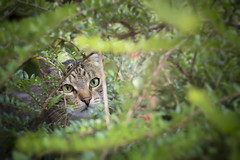 Inna (Katarina Drezga) Tags: cats cat domesticcat nikond3100 nikkor50mm18g animals petphotography pets pet