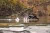 La piste de décollage (mehdiapic) Tags: cormorant grand cormoran nature wildlife take off décollage