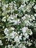 Wheaton, IL, Cantigny Park, White Flowering Bush (Mary Warren (7.8+ Million Views)) Tags: wheatonil cantignypark nature flora green plant bush white blooms blossoms flowers