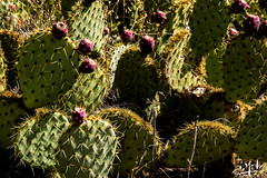Figues de Barbarie / Prickly pear - Brantes (christian_lemale) Tags: brantes provence france nikon d7100 figues barbarie figuesdebarbarie pricklypear