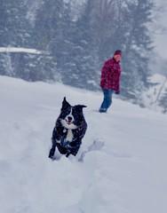 Keeping the herd together. (Jamie McCaffrey) Tags: herding running xt1 fuji outdoor purdylake purdy ontario snow fun canine canada winter dog australianshepherd aussieshepherd