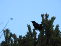 Carrion Crows, Pentwyn, Abersychan 26 December 2016