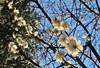 February bloom (namhdyk) Tags: bloom blossoms plumflower plumblossom canon canonpowershot canonpowershotg7x