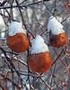 Winter apples - Pommes d'hiver (P9_DSCN2643-1F-20170105) (Michel Sansfacon) Tags: apple pomme winterapples pommesdhiver nikoncoolpixp900