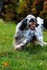 Sultan free (Istinto del Lupo) Tags: setter setteringlese englishsetter allevamento cani dog pet animali caccia animalidomestici