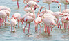 Met in the crowd! (Amro Afifi) Tags: flamingo funny amroafifi amazing birds beautiful beach sea portrait photooftheday