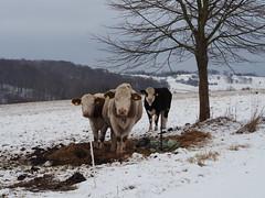 3 cows (michaelmueller410) Tags: kühe rinder baum schnee freiland bio biologisch organic ohr ohrenmarker markiert markierungen kalb kälber stroh landwirtschaft