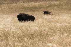 "Bison • <a style=""font-size:0.8em;"" href=""http://www.flickr.com/photos/63501323@N07/32178996660/"" target=""_blank"">View on Flickr</a>"