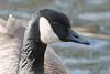 Canada Goose, Branta canadensis. (jwsteffelaar) Tags: brantacanadensis canadagoose taxonomy:binomial=brantacanadensis