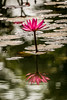 Water Lily (Curious ClickZ of Rezwanul Alam) Tags: water lily beautifulbangladesh petal flower nature outdoor beautiful canoneos70d lightroom reflections pond