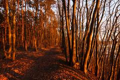 Rotbuchen (Lilongwe2007) Tags: lauenburg rotbuchen bäume landschaft elbe wald natur sonnenuntergang holz pflanzen wanderweg winter
