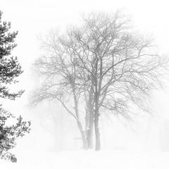 (Rambynas) Tags: lithuania lietuva mist fog tree winter squareformat blackwhite bw bitėnai