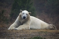 """Why Don´t You Love Me"" (ucumari photography) Tags: ucumariphotography nikita polarbear ursusmaritimus oso bear animal mammal nc north carolina zoo osopolar ourspolaire oursblanc eisbär ísbjörn orsopolare полярныймедведь january 2017 dsc4339 fog specanimal 北極熊"