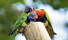 Lovebirds (Paula Darwinkel) Tags: rainbow lorikeet bird animal love cute wildlife nature birds cuddling