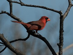Cardinal (1 of 1) (DavidGuscottPhotography) Tags: